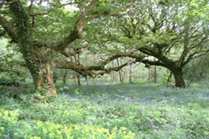 Glengarriff Wood Looped Walk